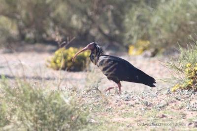 ibis_skalni2245
