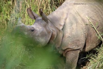 Rhinoceros_unicornis0627