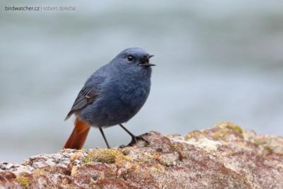 Rhyacornis_fuliginosus9950