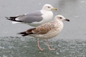 24. Racek bělohlavý (Larus cachinnans), šat 1. roku a adultní.