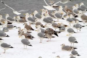 45. Racek bělohlavý (Larus cachinnans), hejno zimujících ptáků různého věku.